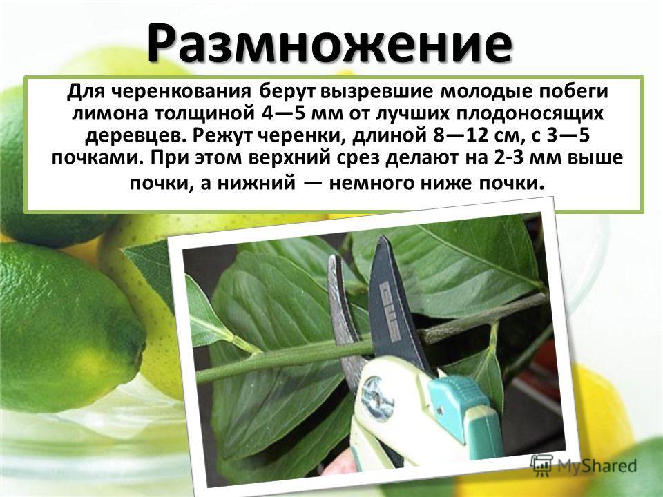 Для черенкования берут вызревшие молодые побеги лимона толщиной 45 мм от лучших плодоносящих деревцев. Режут черенки, длиной 812 см, с 35 почками. При этом верхний срез делают на 2-3 мм выше почки, а нижний немного ниже почки.Размножение