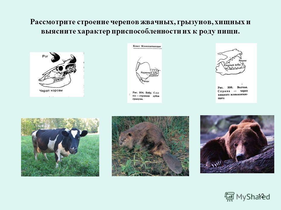 12 Рассмотрите строение черепов жвачных, грызунов, хищных и выясните характер приспособленности их к роду пищи.