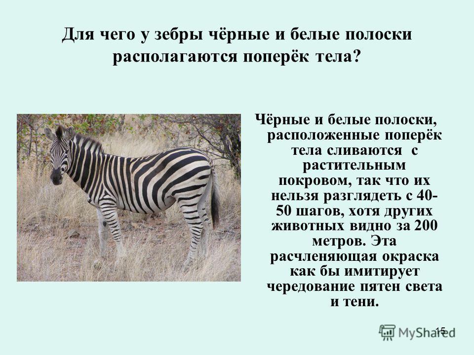 15 Для чего у зебры чёрные и белые полоски располагаются поперёк тела? Чёрные и белые полоски, расположенные поперёк тела сливаются с растительным покровом, так что их нельзя разглядеть с 40- 50 шагов, хотя других животных видно за 200 метров. Эта ра