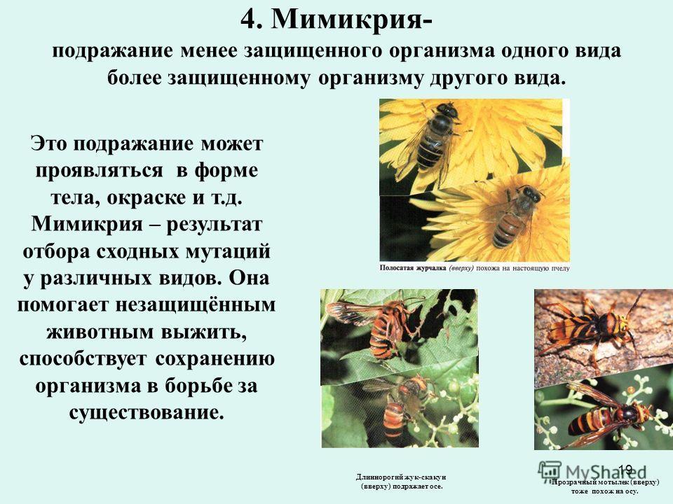 19 4. Мимикрия- подражание менее защищенного организма одного вида более защищенному организму другого вида. Это подражание может проявляться в форме тела, окраске и т.д. Мимикрия – результат отбора сходных мутаций у различных видов. Она помогает нез