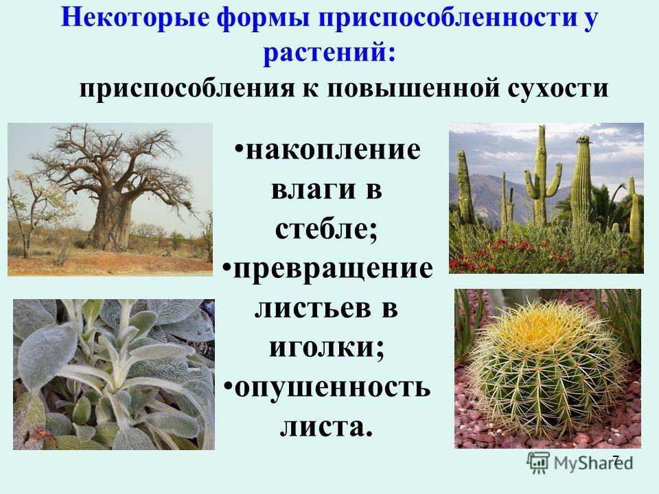 7 Некоторые формы приспособленности у растений: приспособления к повышенной сухости накопление влаги в стебле; превращение листьев в иголки; опушенность листа.