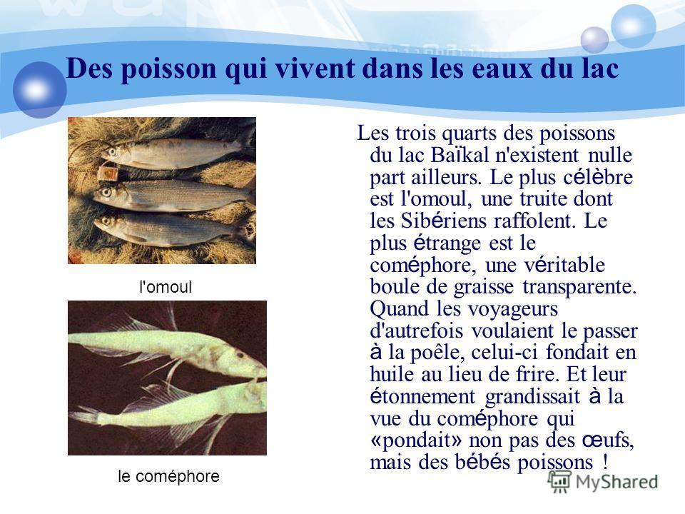 Des poisson qui vivent dans les eaux du lac Les trois quarts des poissons du lac Ba ï kal n'existent nulle part ailleurs. Le plus c é l è bre est l'omoul, une truite dont les Sib é riens raffolent. Le plus é trange est le com é phore, une v é ritable