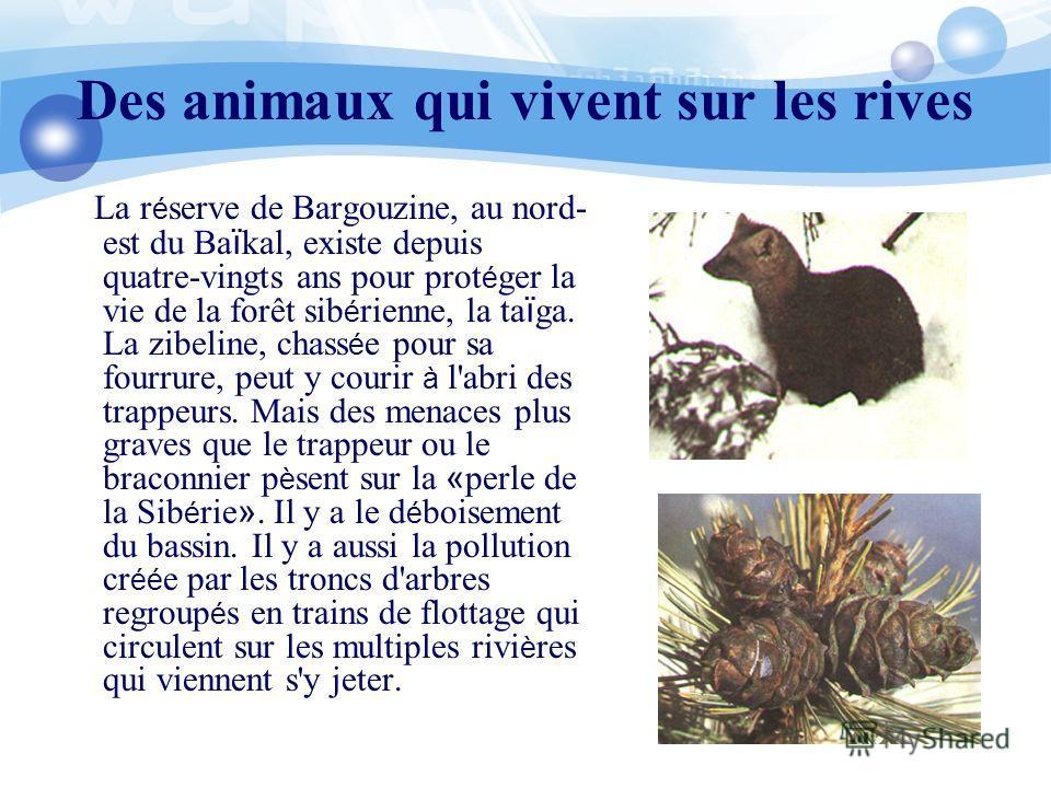 Des animaux qui vivent sur les rives La r é serve de Bargouzine, au nord- est du Ba ï kal, existe depuis quatre-vingts ans pour prot é ger la vie de la forêt sib é rienne, la ta ï ga. La zibeline, chass é e pour sa fourrure, peut y courir à l'abri de