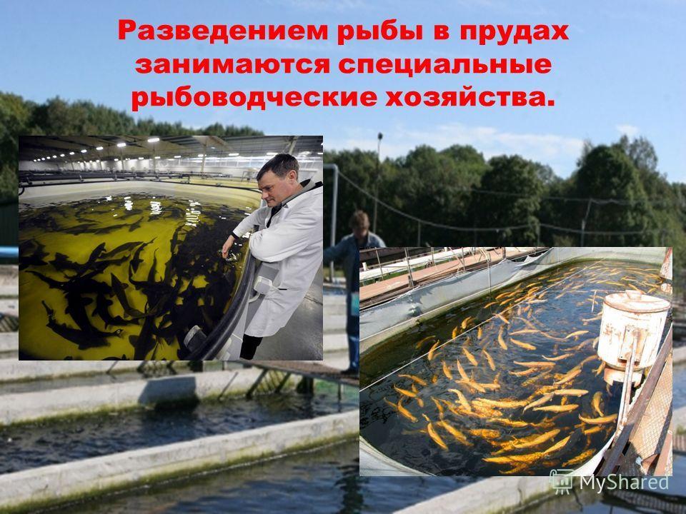 Разведением рыбы в прудах занимаются специальные рыбоводческие хозяйства.
