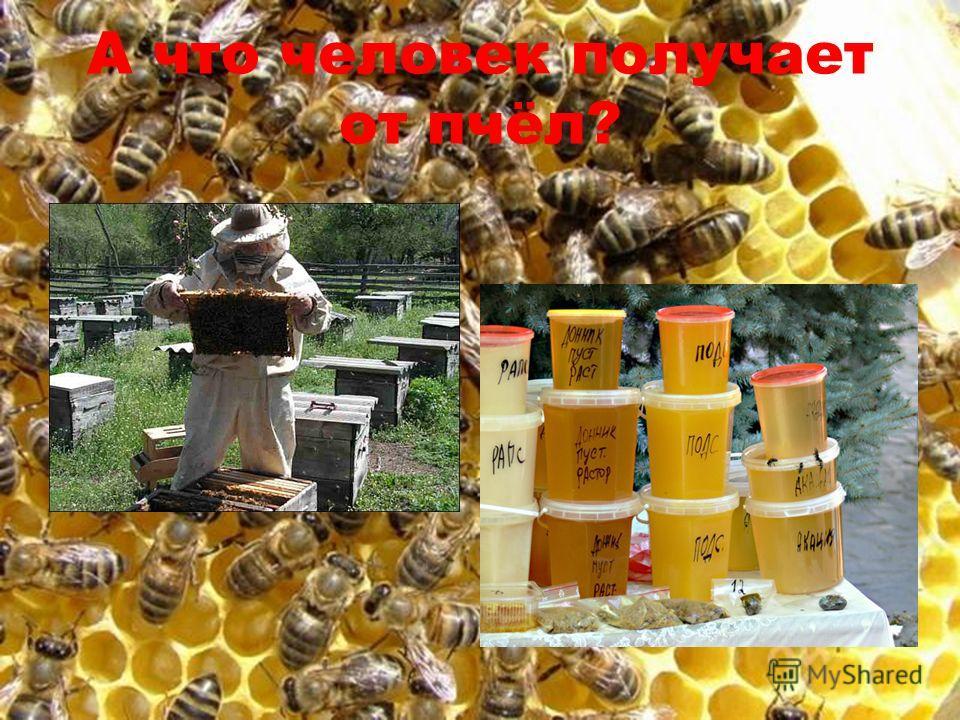 А что человек получает от пчёл?