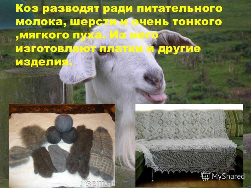 Коз разводят ради питательного молока, шерсти и очень тонкого,мягкого пуха. Из него изготовляют платки и другие изделия.