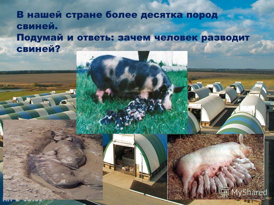 В нашей стране более десятка пород свиней. Подумай и ответь: зачем человек разводит свиней?