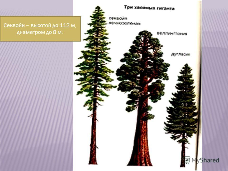 Секвойи – высотой до 112 м, диаметром до 8 м.
