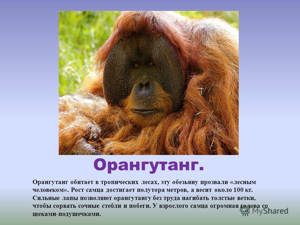 Орангутанг. Орангутанг обитает в тропических лесах, эту обезьяну прозвали «лесным человеком». Рост самца достигает полутора метров, а весит около 100 кг. Сильные лапы позволяют орангутангу без труда нагибать толстые ветки, чтобы сорвать сочные стебли