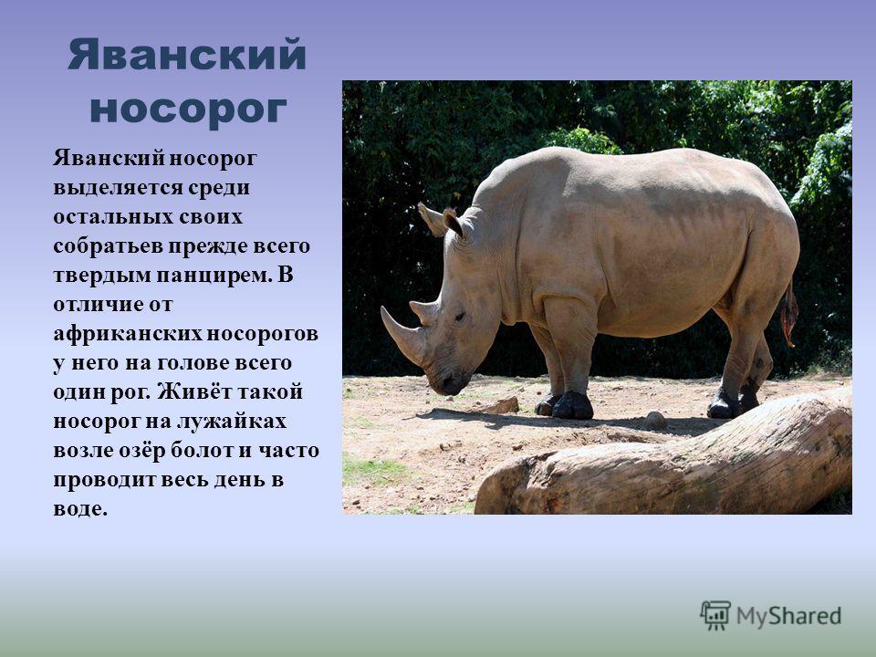 Яванский носорог Яванский носорог выделяется среди остальных своих собратьев прежде всего твердым панцирем. В отличие от африканских носорогов у него на голове всего один рог. Живёт такой носорог на лужайках возле озёр болот и часто проводит весь ден