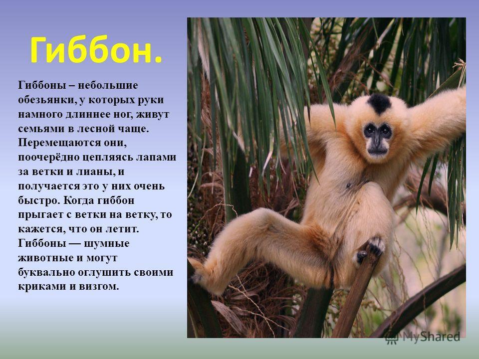 Гиббон. Гиббоны – небольшие обезьянки, у которых руки намного длиннее ног, живут семьями в лесной чаще. Перемещаются они, поочерёдно цепляясь лапами за ветки и лианы, и получается это у них очень быстро. Когда гиббон прыгает с ветки на ветку, то каже