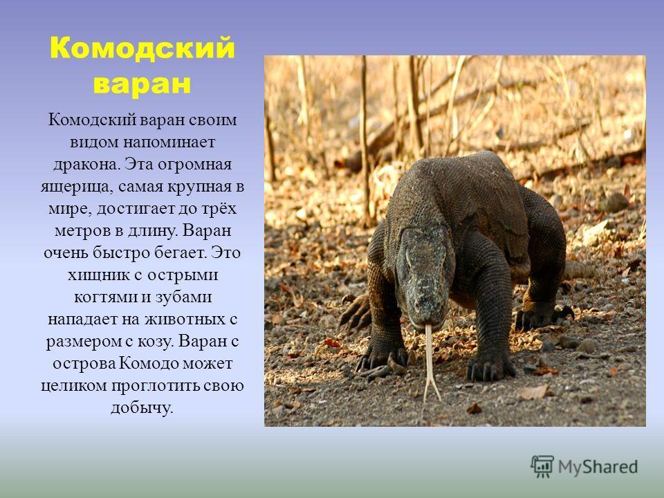 Комодский варан Комодский варан своим видом напоминает дракона. Эта огромная ящерица, самая крупная в мире, достигает до трёх метров в длину. Варан очень быстро бегает. Это хищник с острыми когтями и зубами нападает на животных с размером с козу. Вар
