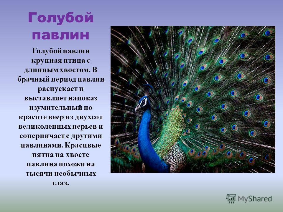 Голубой павлин Голубой павлин крупная птица с длинным хвостом. В брачный период павлин распускает и выставляет напоказ изумительный по красоте веер из двухсот великолепных перьев и соперничает с другими павлинами. Красивые пятна на хвосте павлина пох