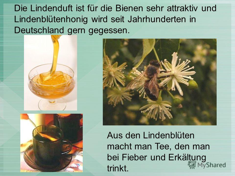 Die Lindenduft ist für die Bienen sehr attraktiv und Lindenblütenhonig wird seit Jahrhunderten in Deutschland gern gegessen. Aus den Lindenblüten macht man Tee, den man bei Fieber und Erkältung trinkt.