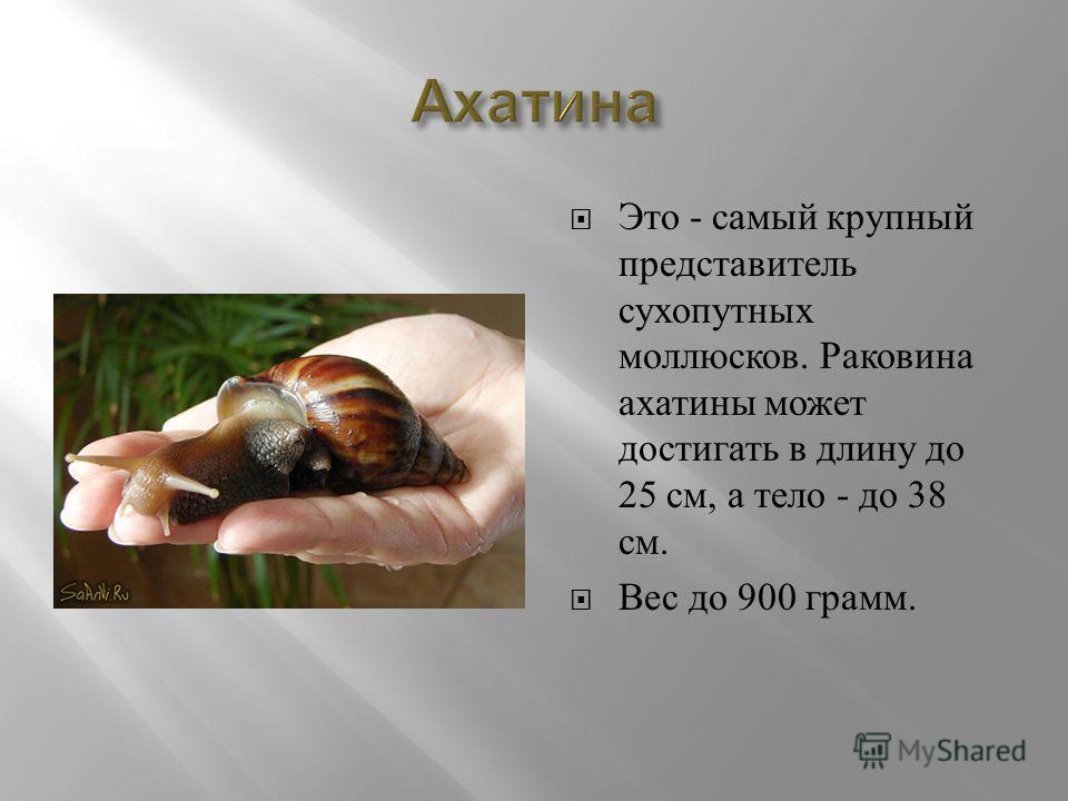 Это - самый крупный представитель сухопутных моллюсков. Раковина ахатины может достигать в длину до 25 см, а тело - до 38 см. Вес до 900 грамм.