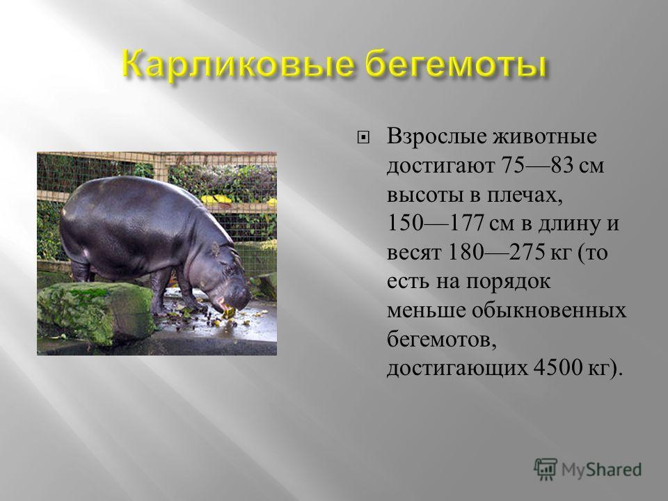 Взрослые животные достигают 7583 см высоты в плечах, 150177 см в длину и весят 180275 кг ( то есть на порядок меньше обыкновенных бегемотов, достигающих 4500 кг ).