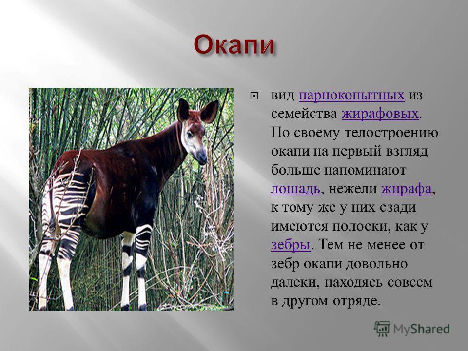 вид парнокопытных из семейства жирафовых. По своему тело строению окапи на первый взгляд больше напоминают лошадь, нежели жирафа, к тому же у них сзади имеются полоски, как у зебры. Тем не менее от зебр окапи довольно далеки, находясь совсем в другом