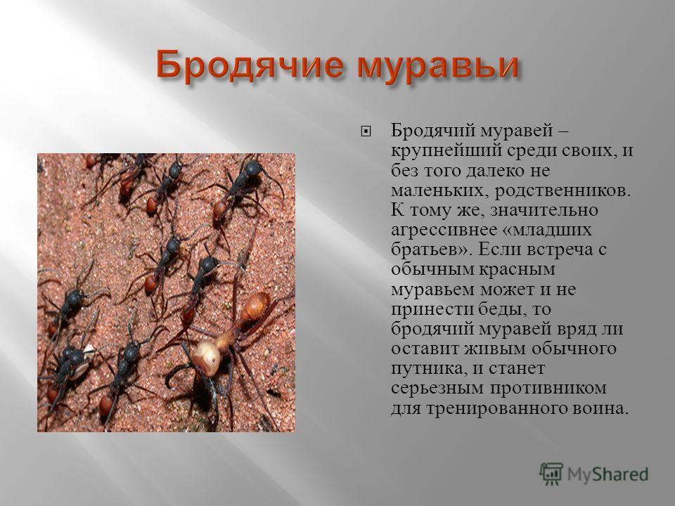Бродячий муравей – крупнейший среди своих, и без того далеко не маленьких, родственников. К тому же, значительно агрессивнее « младших братьев ». Если встреча с обычным красным муравьем может и не принести беды, то бродячий муравей вряд ли оставит жи