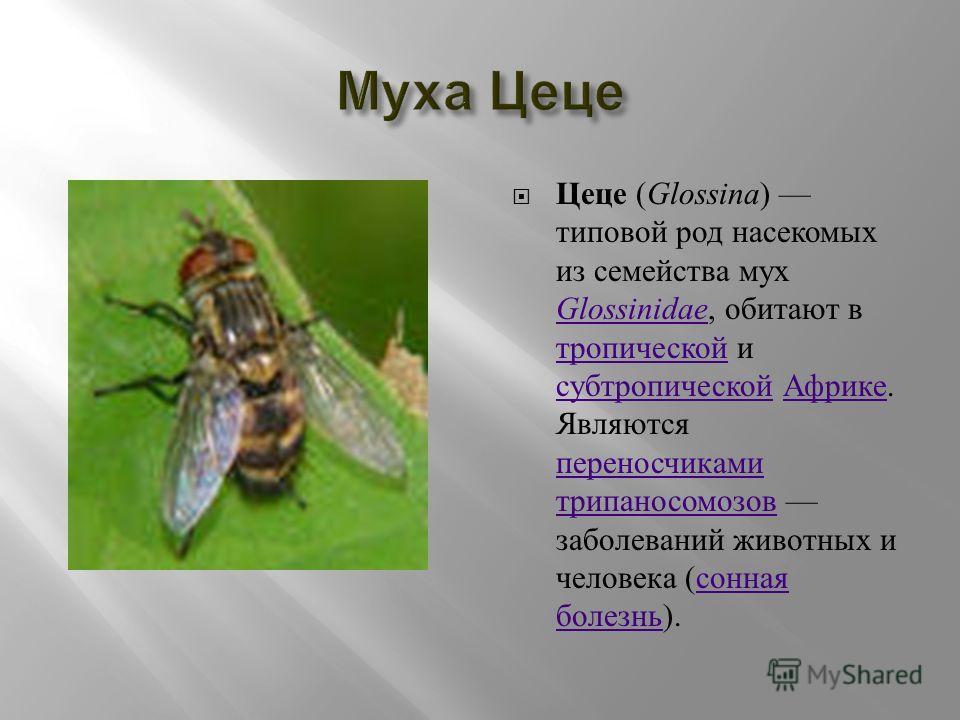 Цеце ( Glossina ) типовой род насекомых из семейства мух Glossinidae, обитают в тропической и субтропической Африке. Являются переносчиками трипаносомозов заболеваний животных и человека ( сонная болезнь ). Glossinidae тропической субтропической Афри