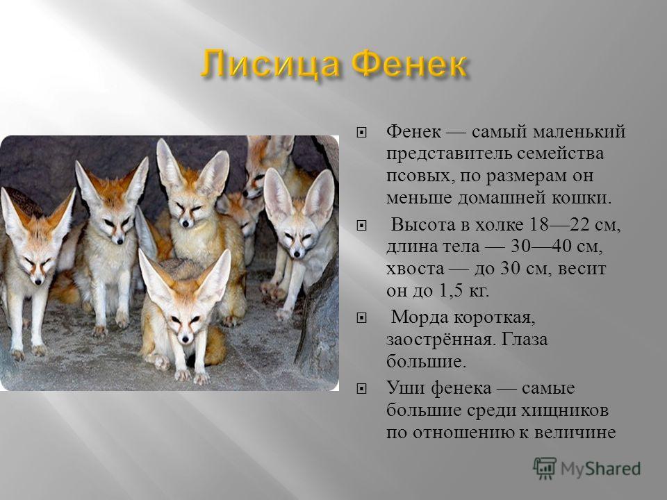 Фенек самый маленький представитель семейства псовых, по размерам он меньше домашней кошки. Высота в холке 1822 см, длина тела 3040 см, хвоста до 30 см, весит он до 1,5 кг. Морда короткая, заострённая. Глаза большие. Уши фенечка самые большие среди х