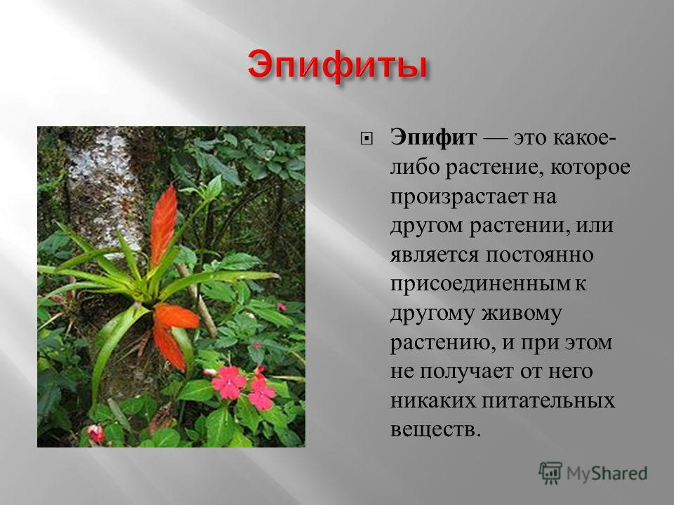 Эпифит это какое - либо растение, которое произрастает на другом растении, или является постоянно присоединенным к другому живому растению, и при этом не получает от него никаких питательных веществ.