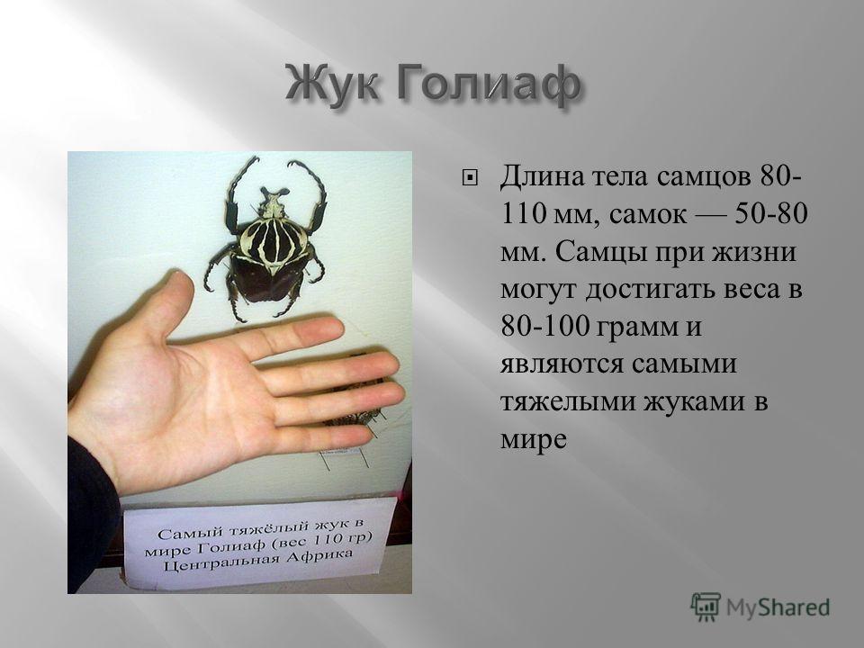 Длина тела самцов 80- 110 мм, самок 50-80 мм. Самцы при жизни могут достигать веса в 80-100 грамм и являются самыми тяжелыми жуками в мире