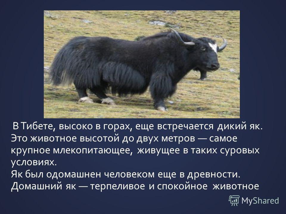 В Тибете, высоко в горах, еще встречается дикий як. Это животное высотой до двух метров самое крупное млекопитающее, живущее в таких суровых условиях. Як был одомашнен человеком еще в древности. Домашний як терпеливое и спокойное животное
