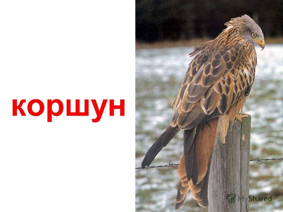 сокол- сапсан