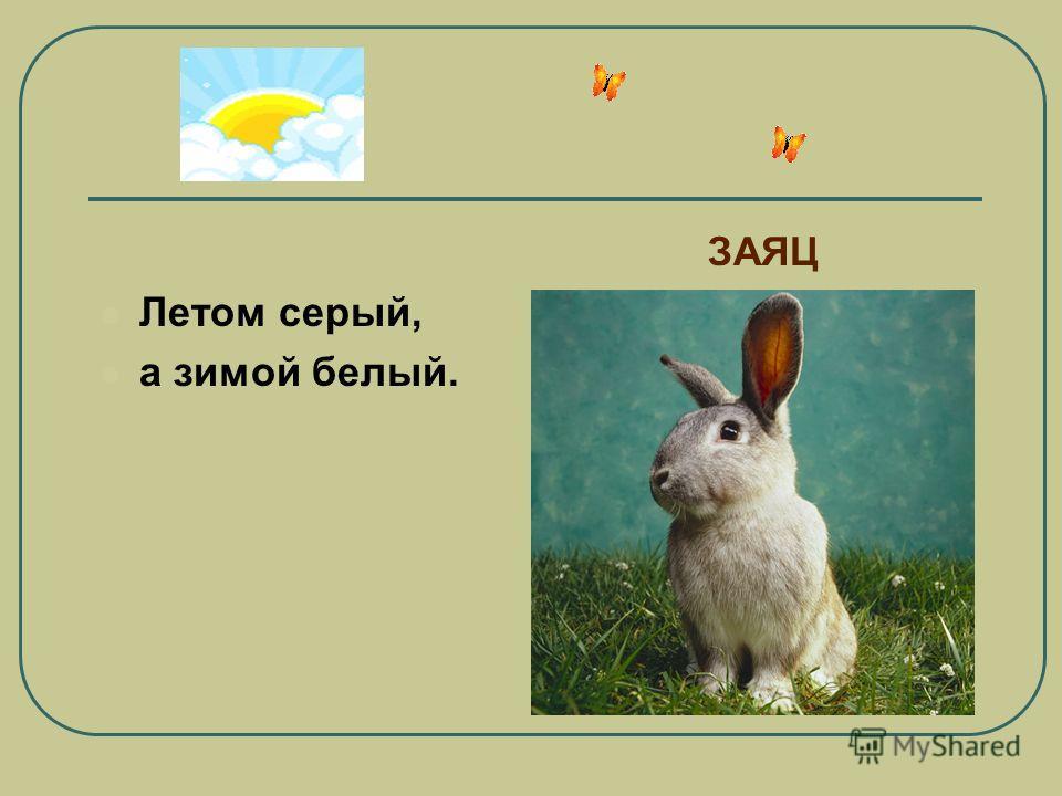 Летом серый, а зимой белый. ЗАЯЦ