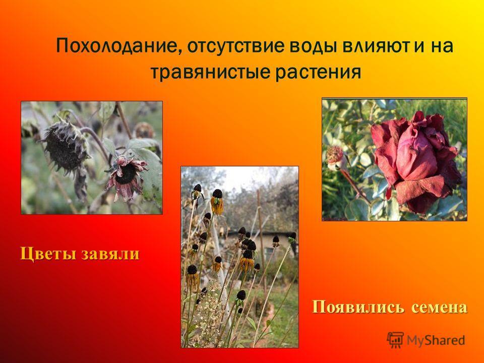 Похолодание, отсутствие воды влияют и на травянистые растения Цветы завяли Появились семена