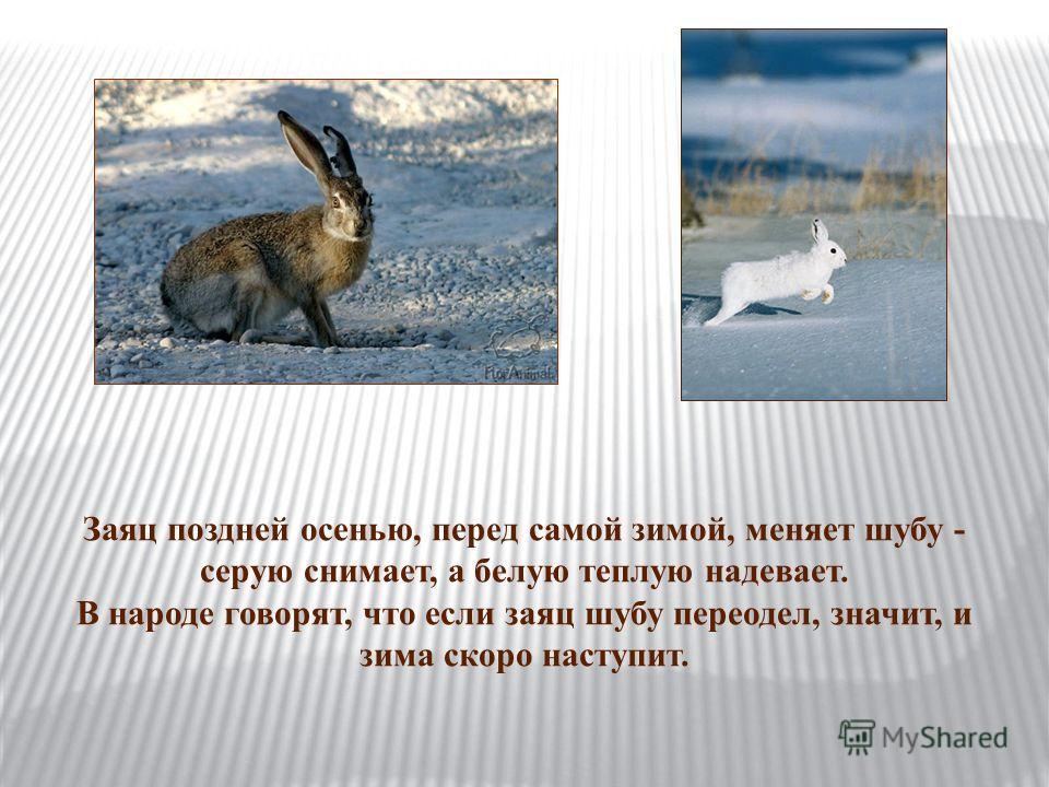 Заяц поздней осенью, перед самой зимой, меняет шубу - серую снимает, а белую теплую надевает. В народе говорят, что если заяц шубу переодел, значит, и зима скоро наступит.