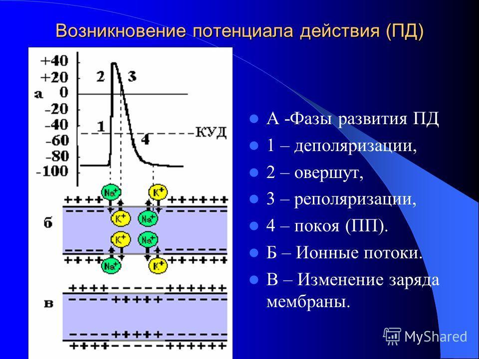 Возникновение потенциала действия (ПД) А -Фазы развития ПД 1 – диполяризации, 2 – овершут, 3 – реполяризации, 4 – покоя (ПП). Б – Ионные потоки. В – Изменение заряда мембраны.