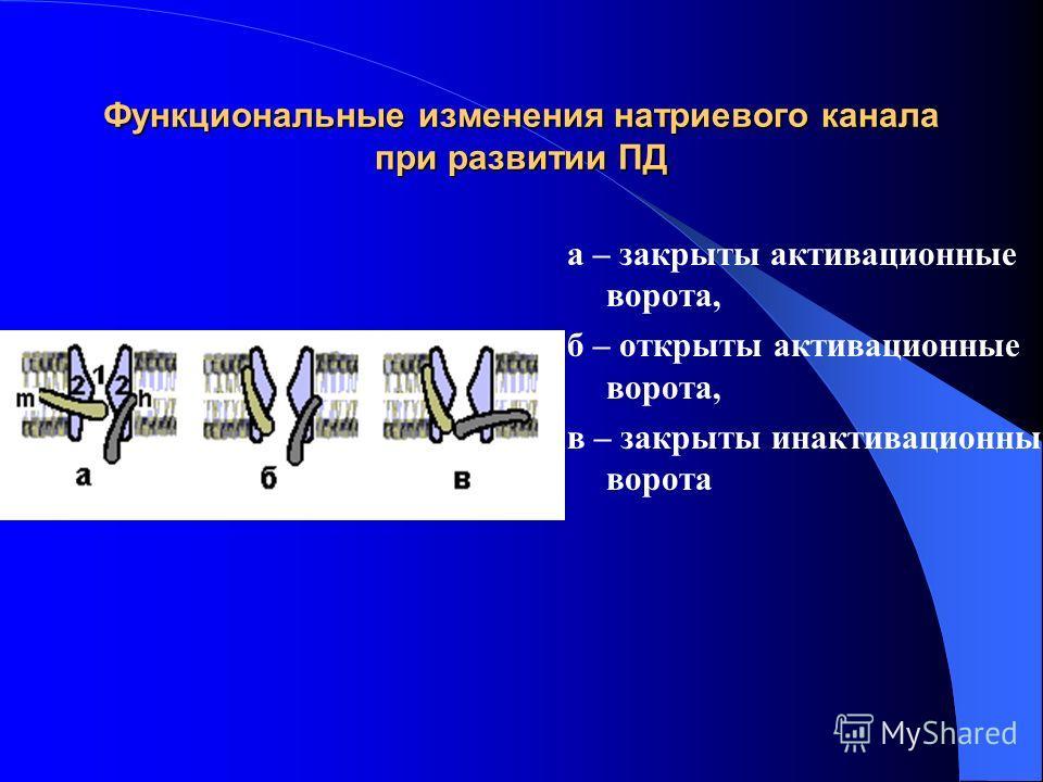 Функциональные изменения натриевого канала при развитии ПД а – закрыты активационные ворота, б – открыты активационные ворота, в – закрыты ин активационные ворота