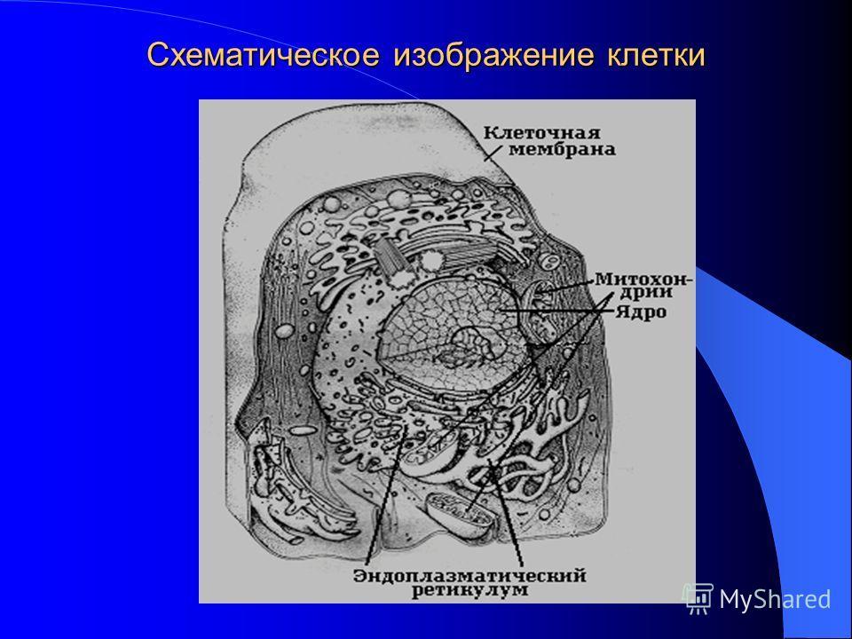 Схематическое изображение клетки