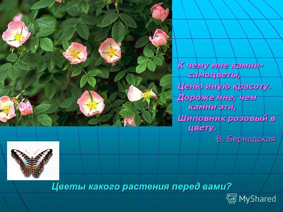 Цветы какого растения перед вами? К чему мне камни- самоцветы, Ценю иную красоту. Дороже мне, чем камни эти, Шиповник розовый в цвету. В. Бернадская В. Бернадская