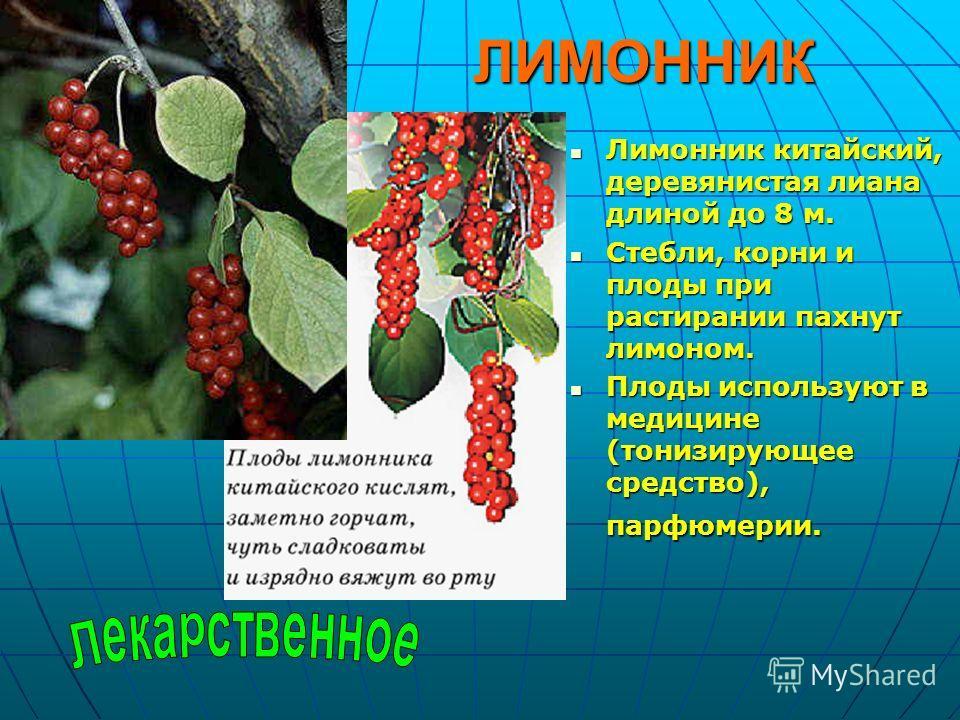 ЛИМОННИК Лимонник китайский, деревянистая лиана длиной до 8 м. Лимонник китайский, деревянистая лиана длиной до 8 м. Стебли, корни и плоды при растирании пахнут лимоном. Стебли, корни и плоды при растирании пахнут лимоном. Плоды используют в медицине