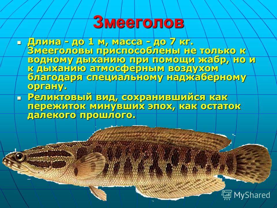 Змееголов Длина - до 1 м, масса - до 7 кг. Змееголовы приспособлены не только к водному дыханию при помощи жабр, но и к дыханию атмосферным воздухом благодаря специальному наджаберному органу. Длина - до 1 м, масса - до 7 кг. Змееголовы приспособлены