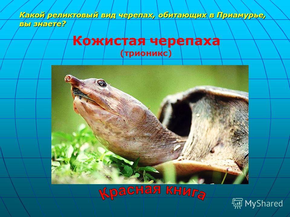 Какой реликтовый вид черепах, обитающих в Приамурье, вы знаете? Кожистая черепаха (трионикс)