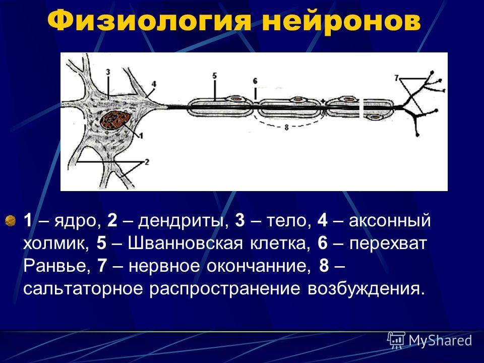 Физиология нейронов 1 – ядро, 2 – дендриты, 3 – тело, 4 – аксонный холмик, 5 – Шванновская клетка, 6 – перехват Ранвье, 7 – нервное окончание, 8 – сальтаторное распространение возбуждения.