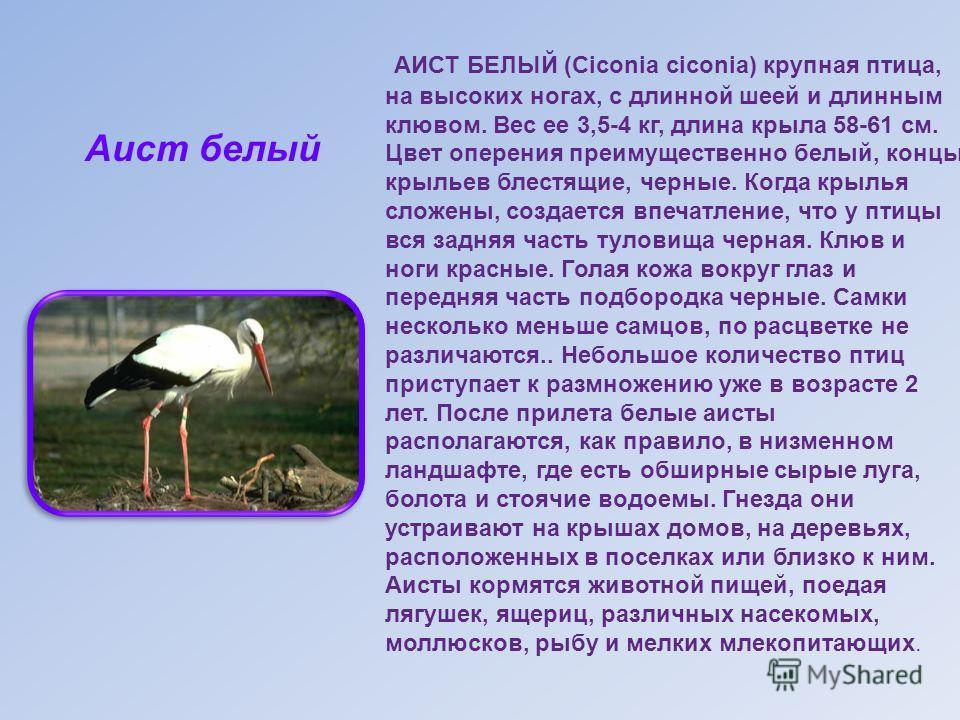 АИСТ БЕЛЫЙ (Ciconia ciconia) крупная птица, на высоких ногах, с длинной шеей и длинным клювом. Вес ее 3,5-4 кг, длина крыла 58-61 см. Цвет оперения преимущественно белый, концы крыльев блестящие, черные. Когда крылья сложены, создается впечатление, ч