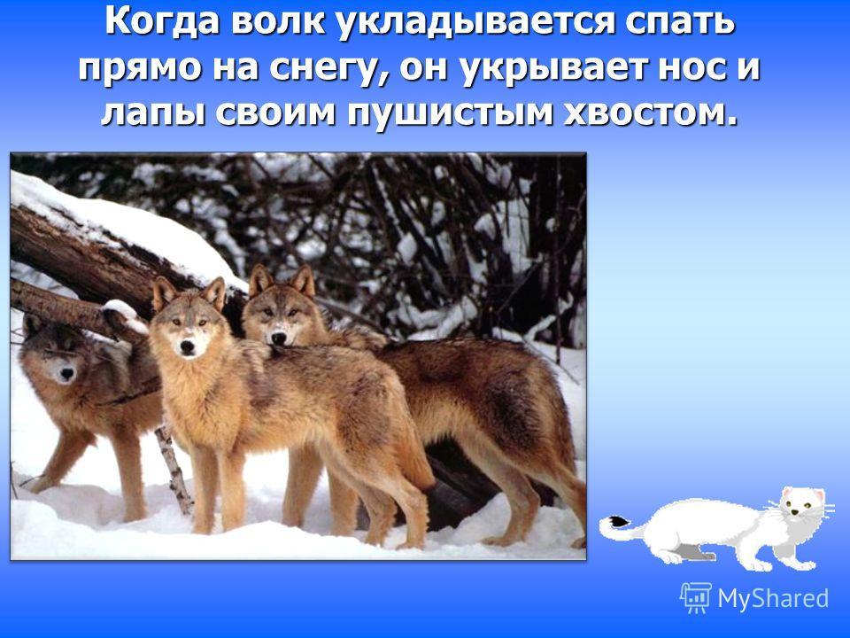 Когда волк укладывается спать прямо на снегу, он укрывает нос и лапы своим пушистым хвостом.