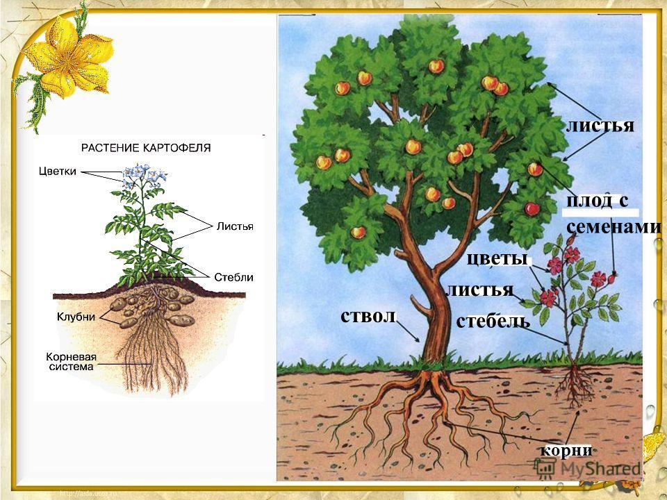 листья плод с семенами ствол корни цветы листья стебель