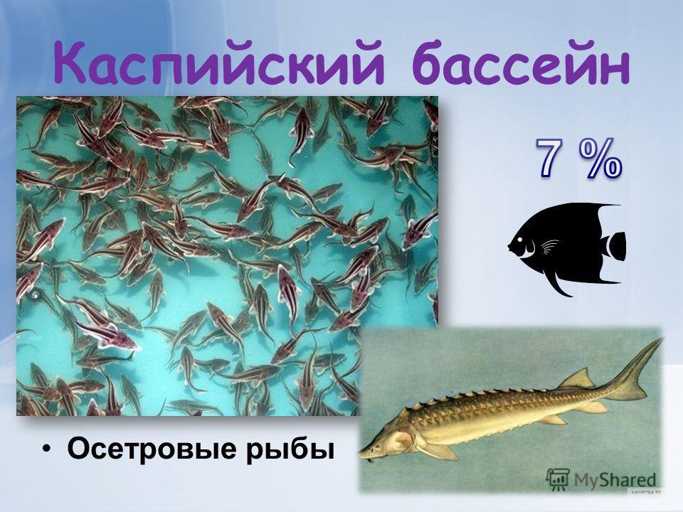 Каспийский бассейн Осетровые рыбы