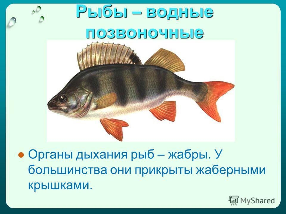 Рыбы – водные позвоночные Органы дыхания рыб – жабры. У большинства они прикрыты жаберными крышками.