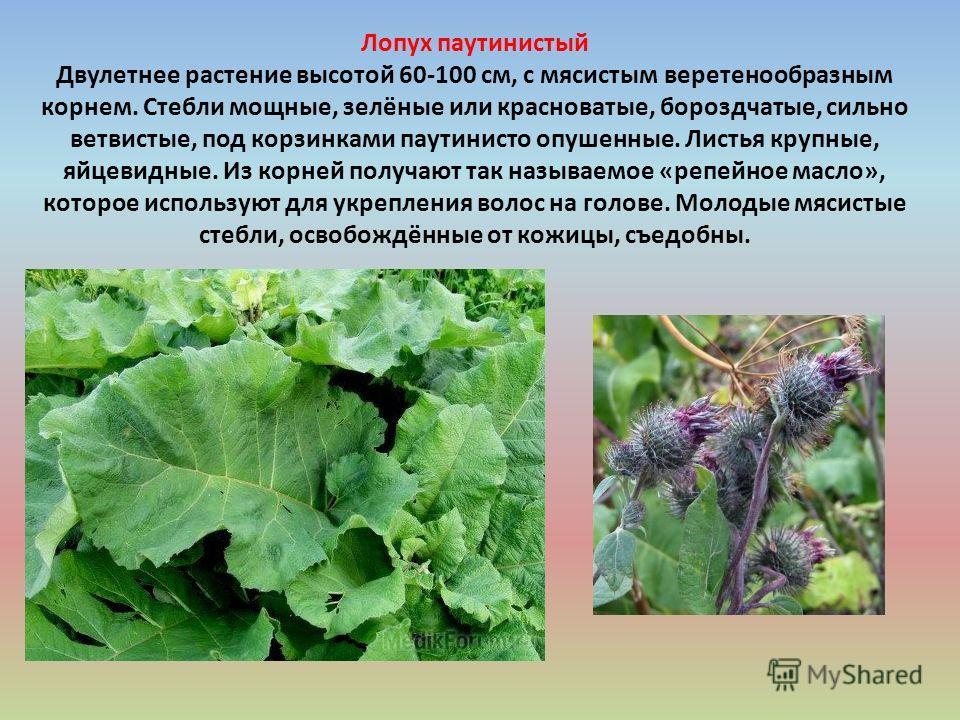 Лопух паутинистый Двулетнее растение высотой 60-100 см, с мясистым веретенообразным корнем. Стебли мощные, зелёные или красноватые, бороздчатые, сильно ветвистые, под корзинками паутинистое опушенные. Листья крупные, яйцевидные. Из корней получают та