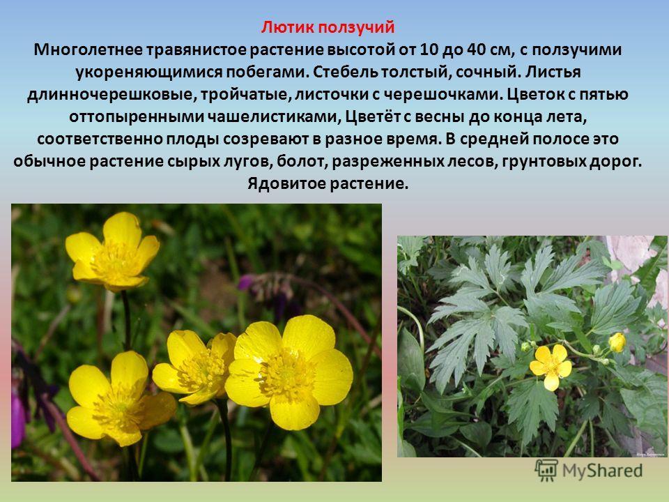 Лютик ползучий Многолетнее травянистое растение высотой от 10 до 40 см, с ползучими укореняющимися побегами. Стебель толстый, сочный. Листья длинночерешковые, тройчатые, листочки с черешочками. Цветок с пятью оттопыренными чашелистиками, Цветёт с вес