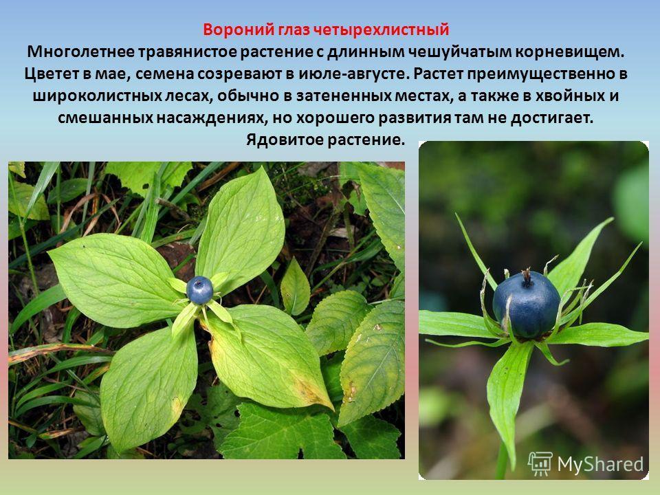 Вороний глаз четырехлистный Многолетнее травянистое растение с длинным чешуйчатым корневищем. Цветет в мае, семена созревают в июле-августе. Растет преимущественно в широколистных лесах, обычно в затененных местах, а также в хвойных и смешанных насаж