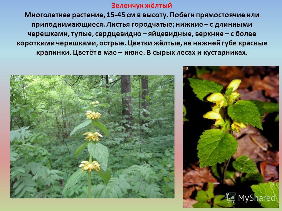 Зеленчук жёлтый Многолетнее растение, 15-45 см в высоту. Побеги прямостоячие или приподнимающиеся. Листья городчатые; нижние – с длинными черешками, тупые, сердцевидно – яйцевидные, верхние – с более короткими черешками, острые. Цветки жёлтые, на ниж