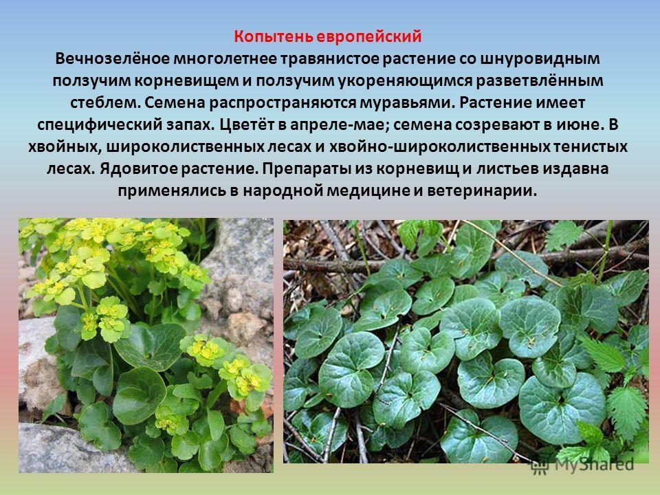 Копытень европейский Вечнозелёное многолетнее травянистое растение со шнуровидным ползучим корневищем и ползучим укореняющимся разветвлённым стеблем. Семена распространяются муравьями. Растение имеет специфический запах. Цветёт в апреле-мае; семена с
