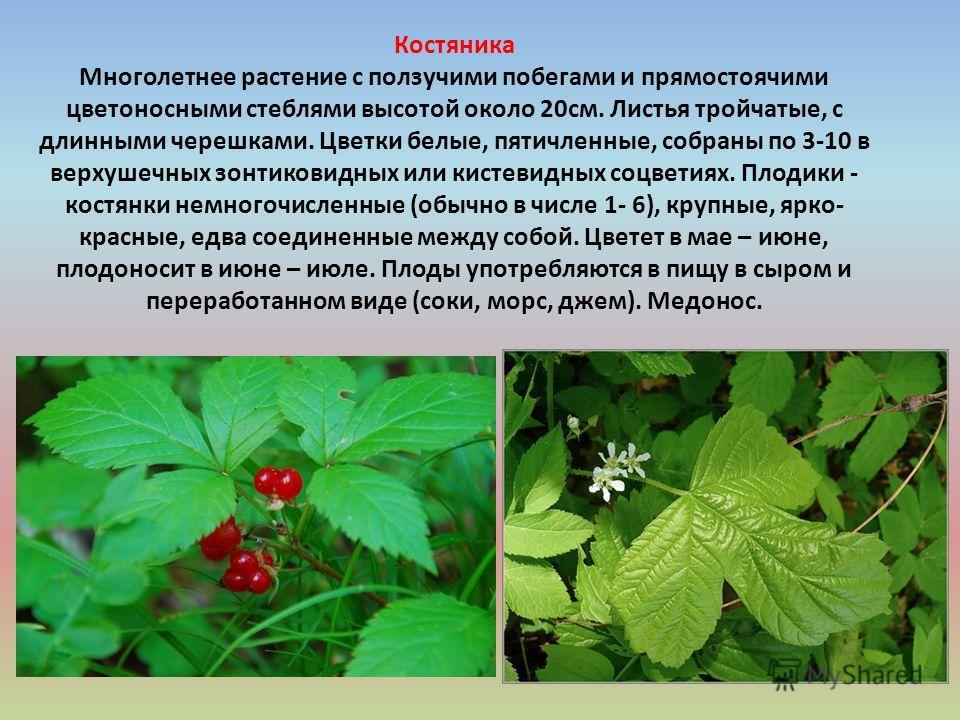 Костяника Многолетнее растение с ползучими побегами и прямостоячими цветоносными стеблями высотой около 20 см. Листья тройчатые, с длинными черешками. Цветки белые, пятичленные, собраны по 3-10 в верхушечных зонтиковидных или кистевидных соцветиях. П